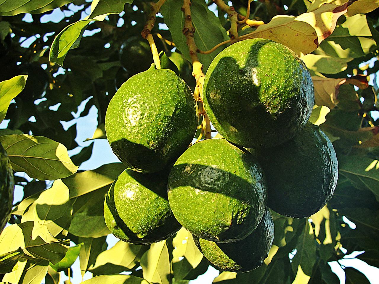 avocado aan de boom