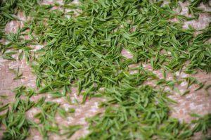 tea-garden-1557697_640
