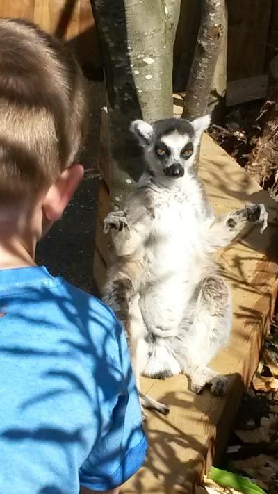 in de londen zoo, met een loslopende maki